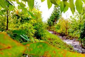 Reflorestamento-2